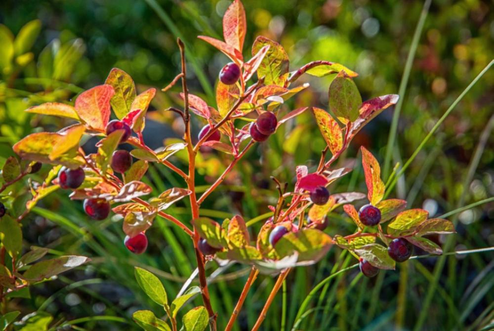 huckleberry.png