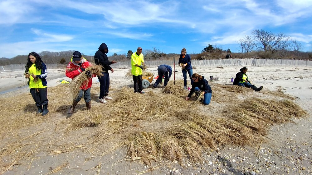 Coastal Habitat Restoration Project Team & Cornell sort and plant grass along the project area.