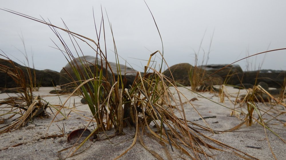 A close-up of spartina alterniflora amongst the rocks in the project area at mean sea level. This grass is also sometimes called duck grass.