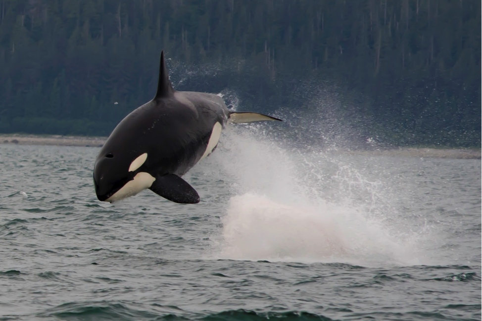 Julie went on a whale watching tour in Juneau and captured this Orca jumping out to say hello.