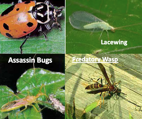 BENEFICIAL INSECTS: - Pollinators and predators of other crop destroying insects! KEEP them around and avoid using harsh chemicals or over the counter pesticides. Better to hand pick bad bug off then spay the how area and kill good bugs.Lady BugsAssassin BugHoney BeeLacewingMinute Pirate BugParasitic WaspPredatory WaspPraying MantisVarious Spiders