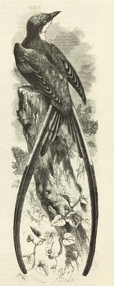 Mosquiteiro de cauda 3