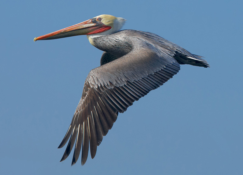 Pelicano 1