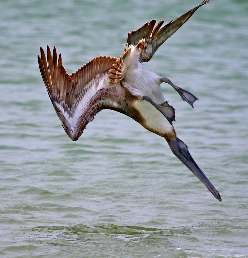 Pelicano 6