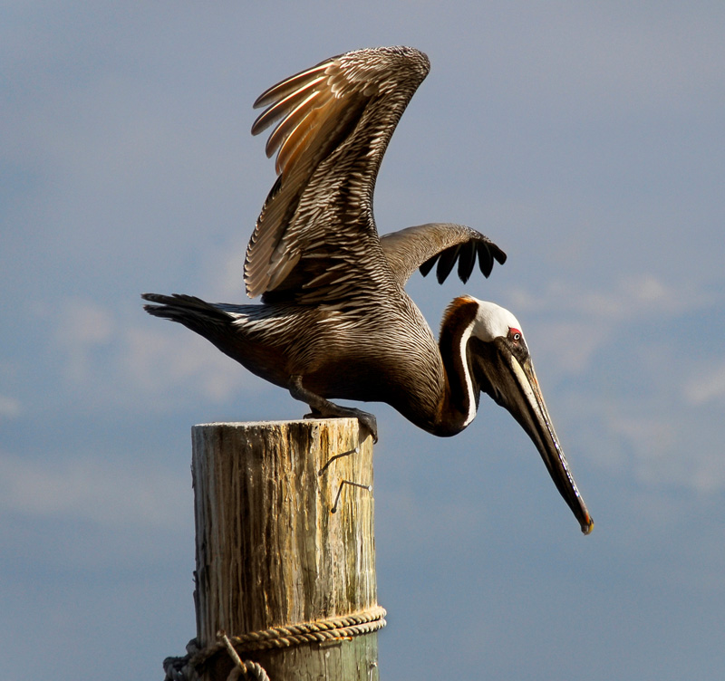Pelicano 3