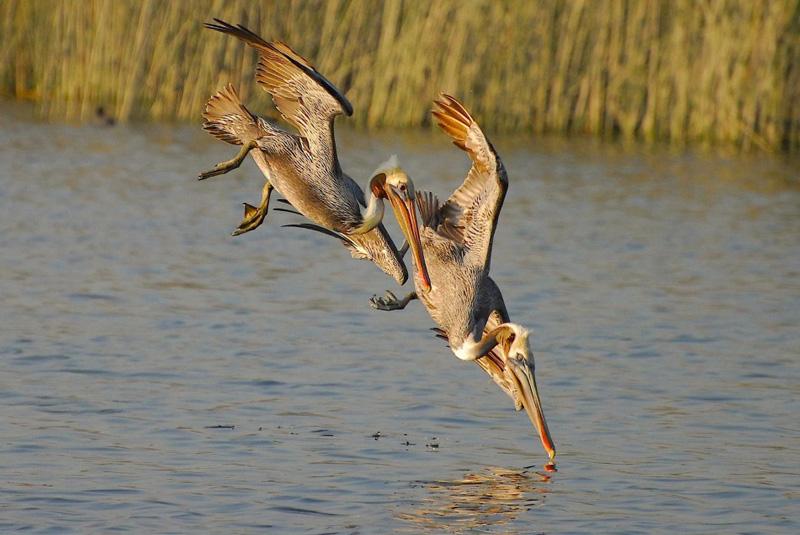 Pelicano 5