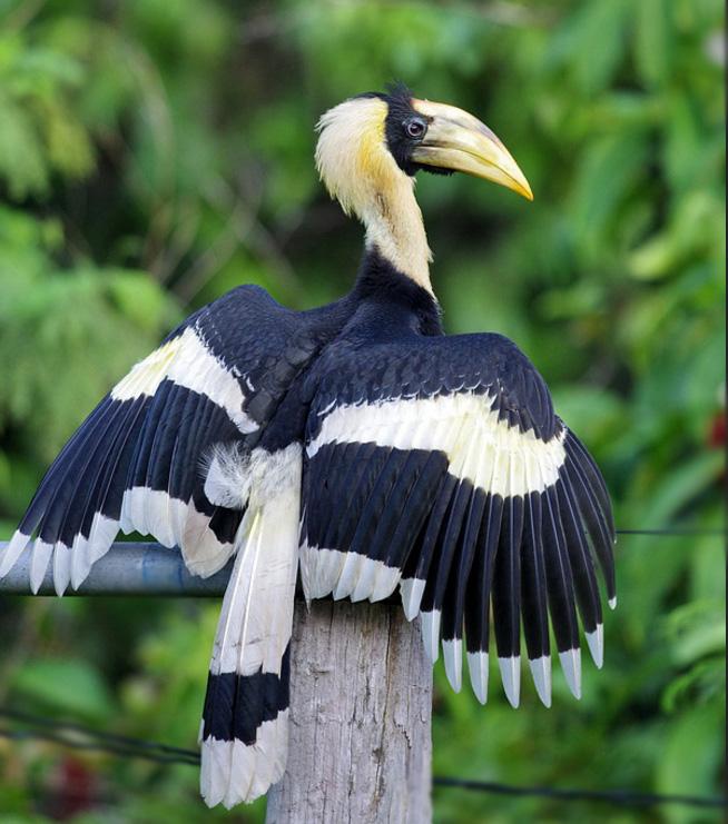 Hornbill indiano 3