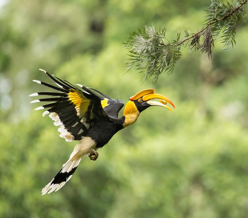 Hornbill indiano 4