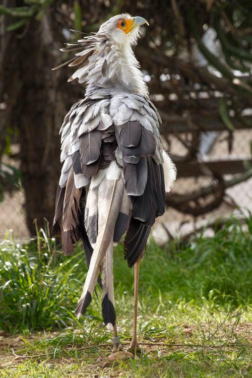 Pássaro secretário 4