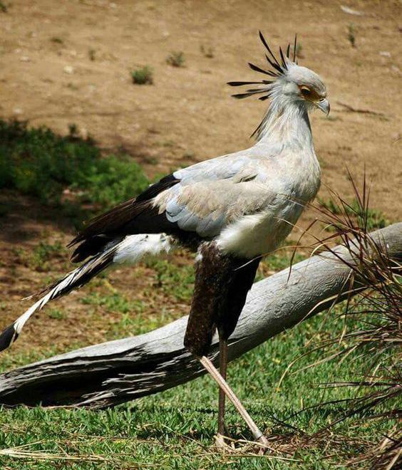 Pássaro secretário 1