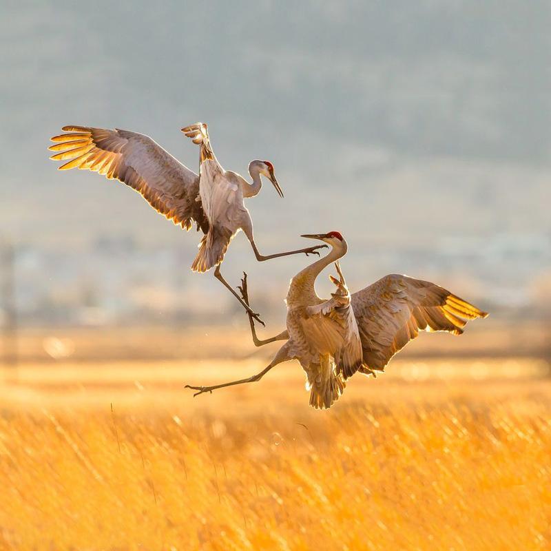 Aves em briga 2