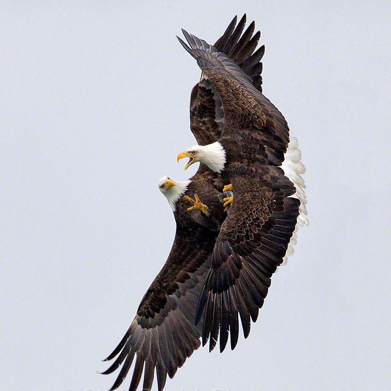 Aves em briga 5