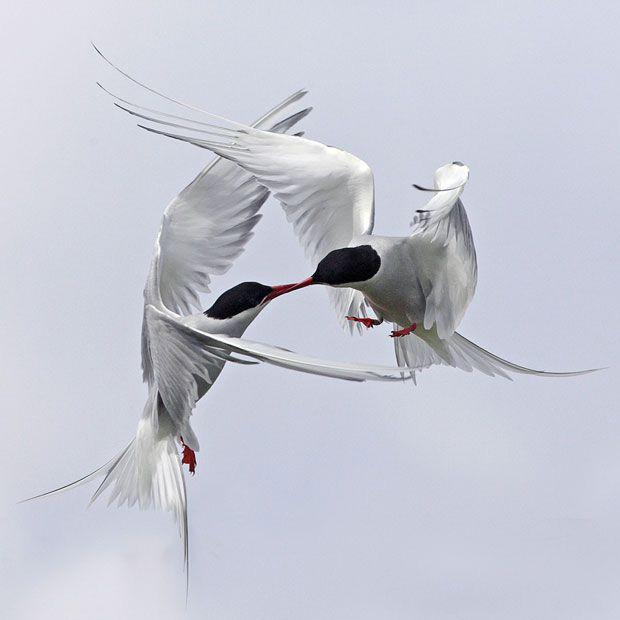 Aves em briga 3