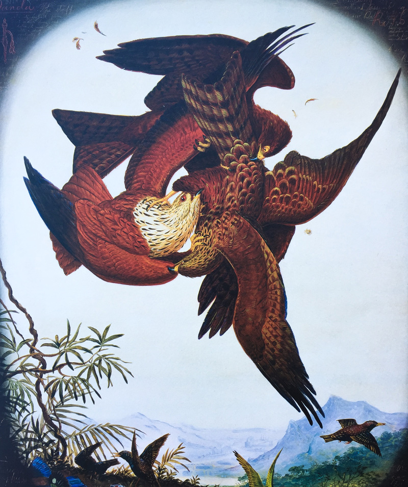 Aves em briga 6