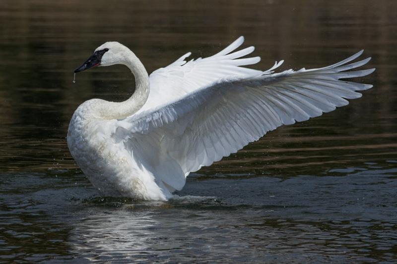 Cisne 1