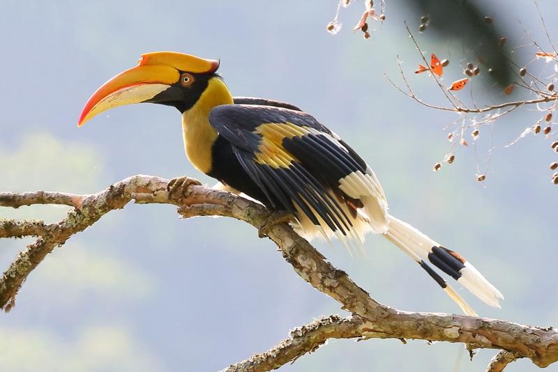 Hornbill indiano 2