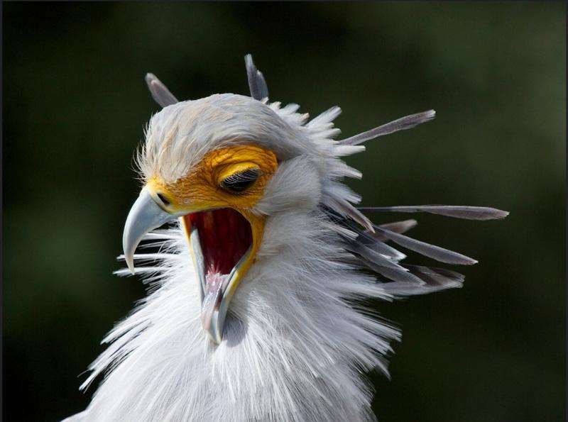 Pássaro secretário 2