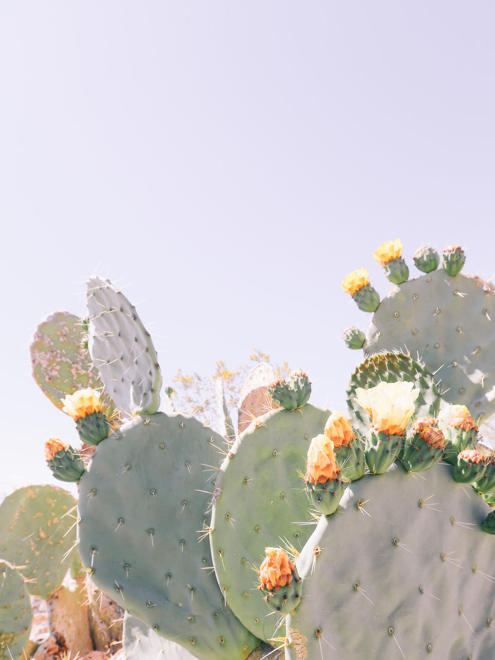 Blooming Cactus in Joshua Tree, CA