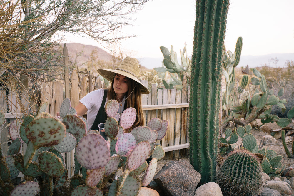 Removing cochineal in Joshua Tree, CA