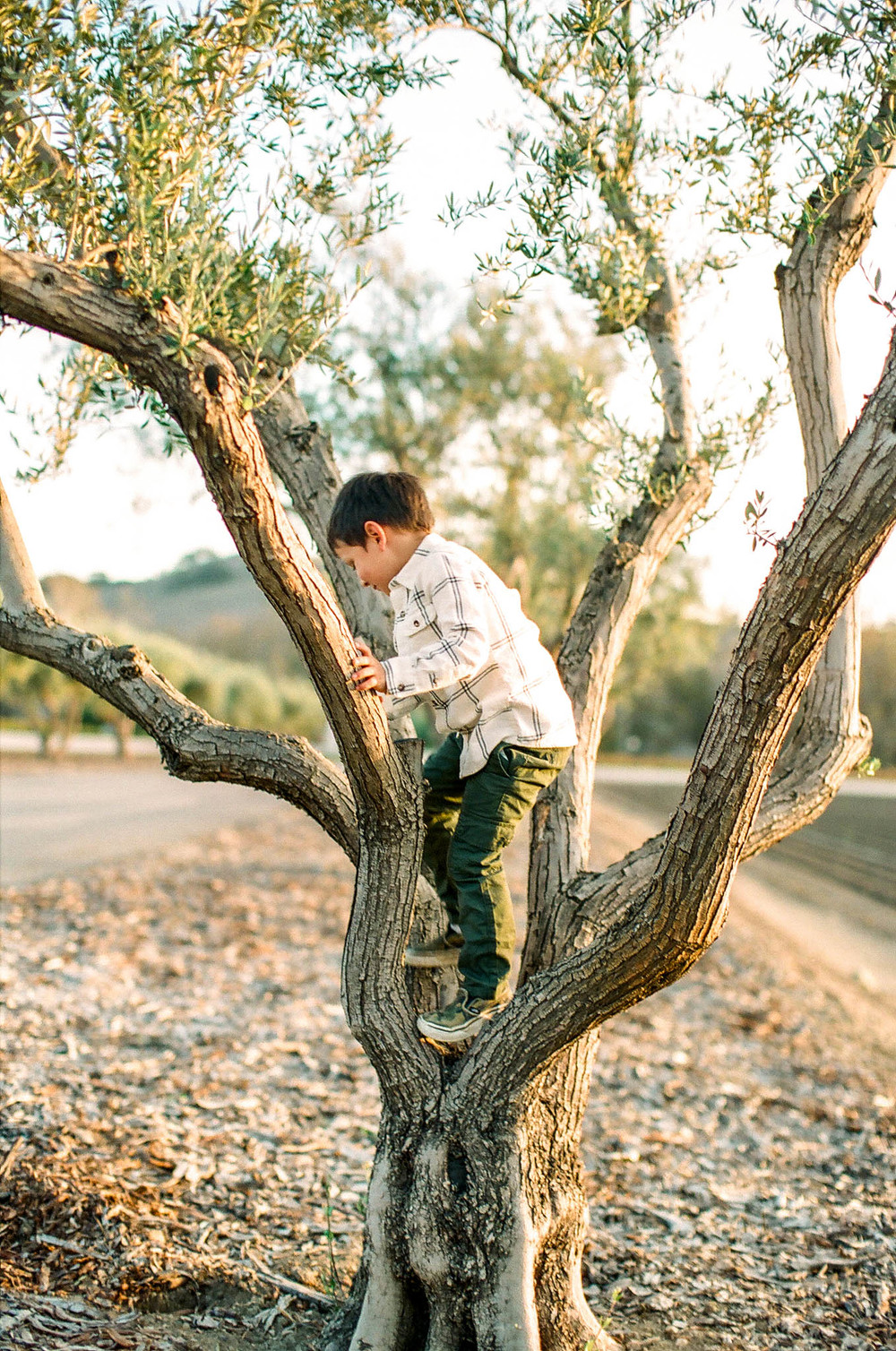 A young boy playfully climbs up in a small tree with his head turned away from the camera, in a child photography session by Twinkle Star Photography, an Orcutt California child photographer.