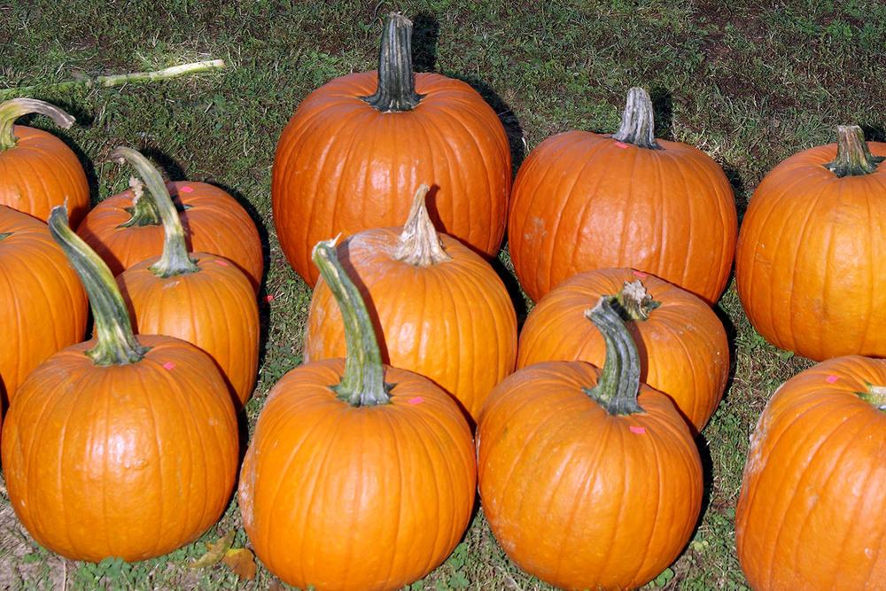 JF_FarmFun_Pumpkins01.jpg
