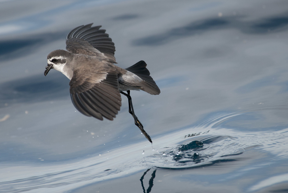 White-faced_Storm-Petrel_20120115_Simpson's_Rock_Hauraki_Gulf_NZ_01.jpg