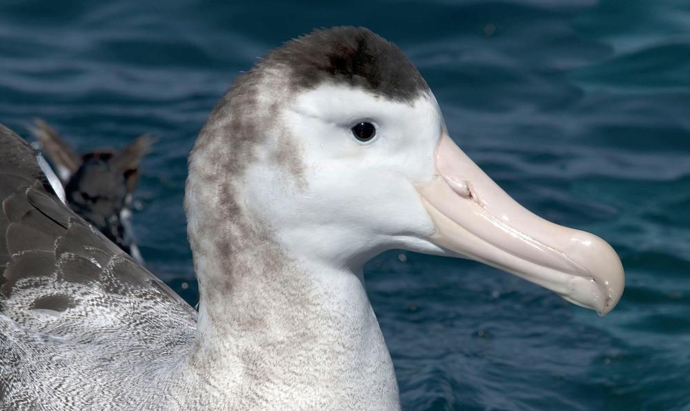 Antipodean_Wandering_Albatross_20110125_Kaikoura_NZ_1.jpg