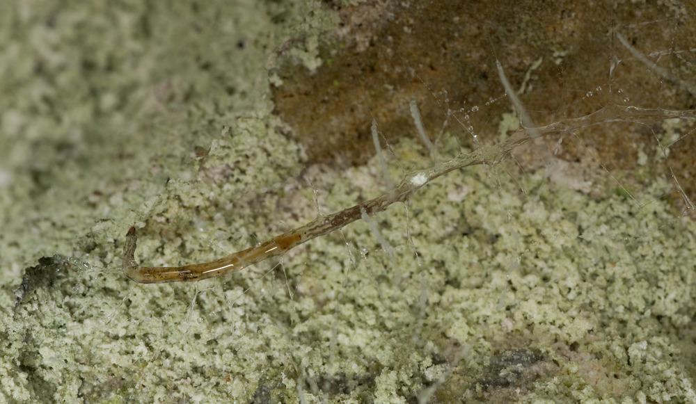 Arachnocampa_luminosa_Glow-worm_20110129_Ruakuri_Walk_Waitomo_NZ_1.jpg