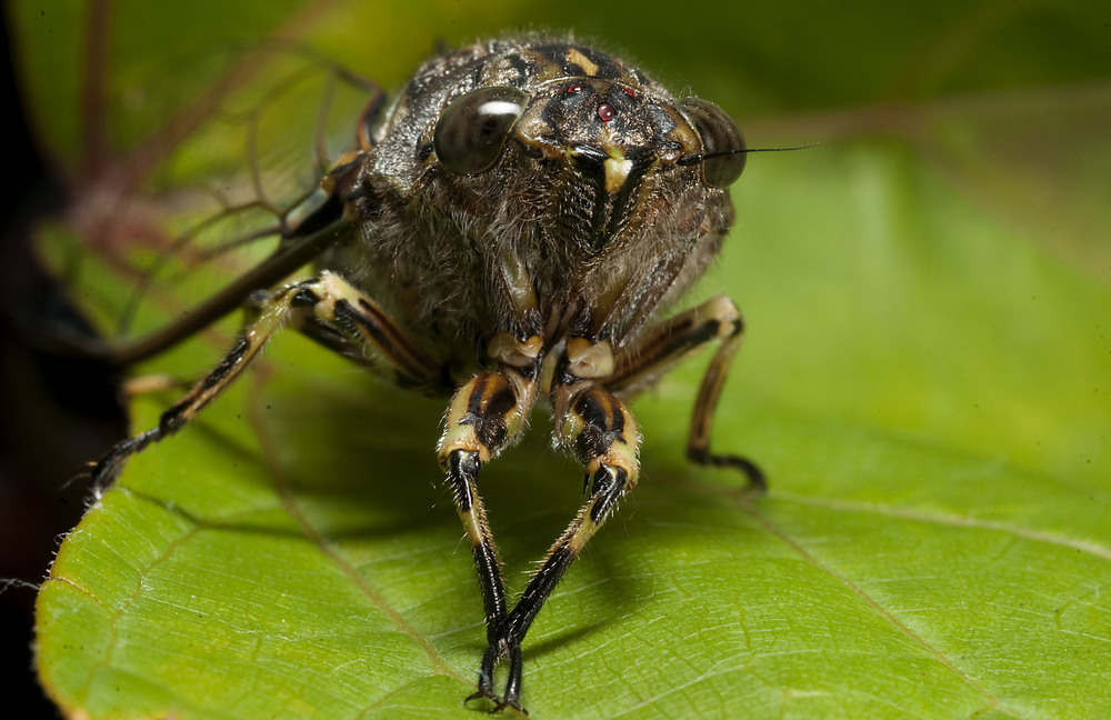 cicada_20110221_Herne_Bay_NZ_2.jpg