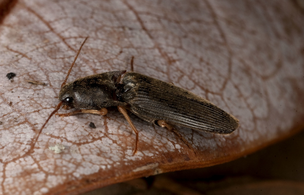 Click_Beetle_20110128_Blenheim_NZ.jpg