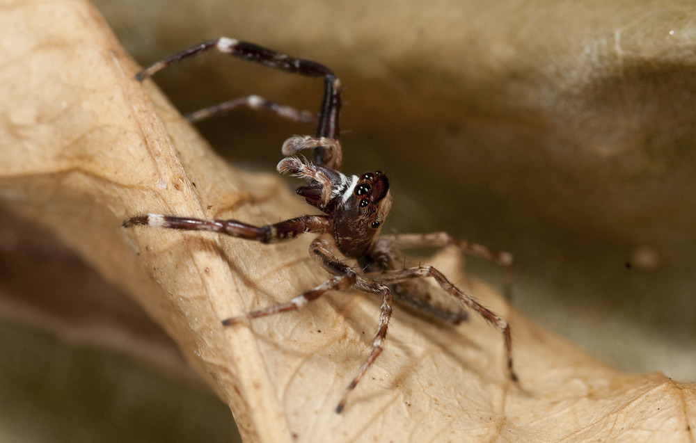 Jumping-spider_20101215_Herne_Bay_NZ_4.jpg