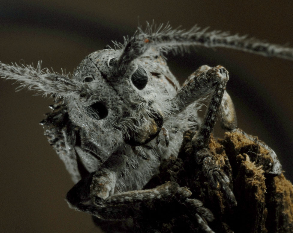 Longihorn_Beetle_20060817_Alice_Springs_NT_09.jpg