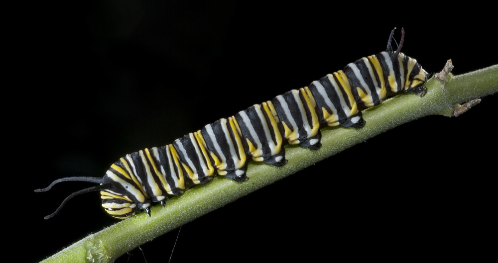 Monarch_caterpillar_20090124_Taihape_NZ_1.jpg