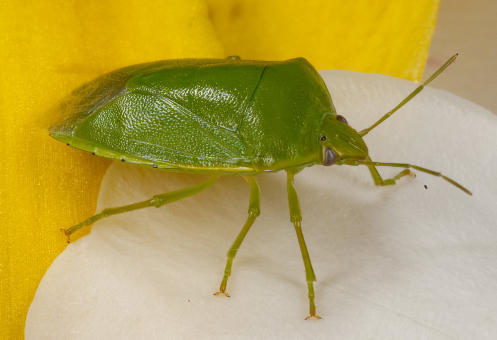 Green_Shield-Bug_Nezara_viridula_20101123_Herne_Bay_Auckland_NZ_2.jpg