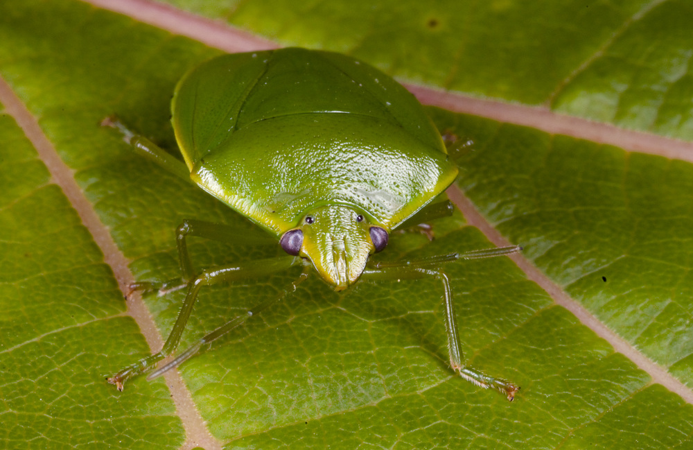 Green_Shield-Bug_Nezara_viridula_20101123_Herne_Bay_Auckland_NZ_3.jpg