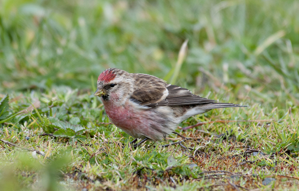 Common_Redpoll_20110819_Cheviot_NZ_1.jpg