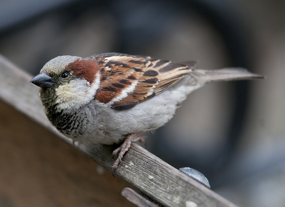 House_Sparrow_20101119_Domain_Auckland_NZ_4.jpg