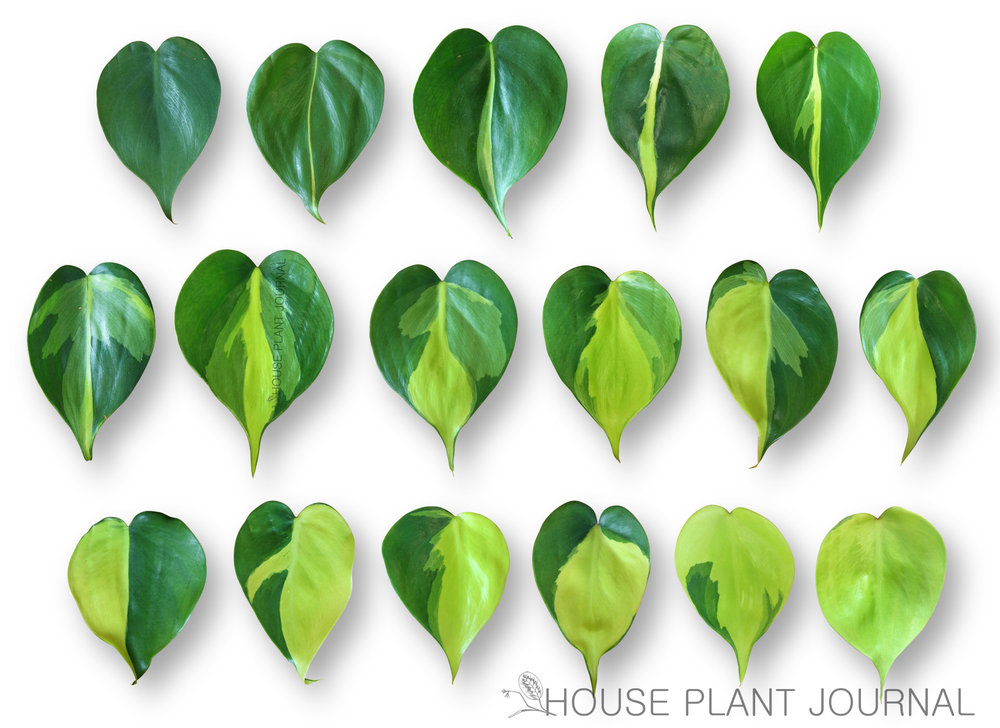 """""""Gradient"""" of Philodendron Brazil"""