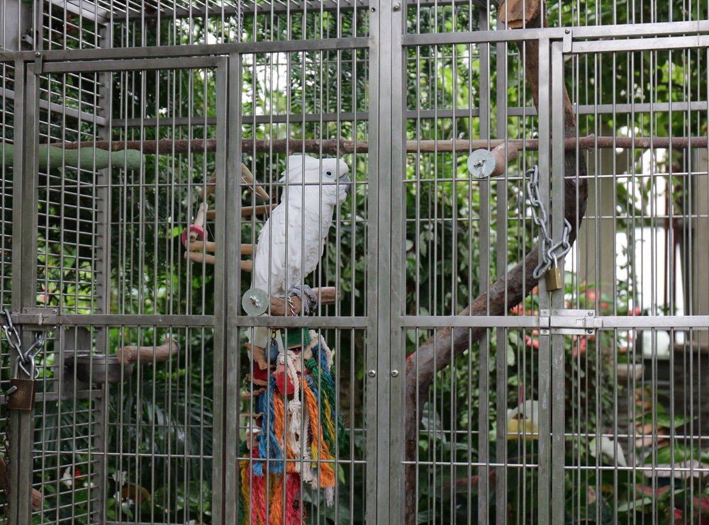 Angel, the Australian Cockatoo - he's 13 years old and is only in his cage during visiting hours. Every morning before opening, he gets to roam the grounds freely while eating breakfast