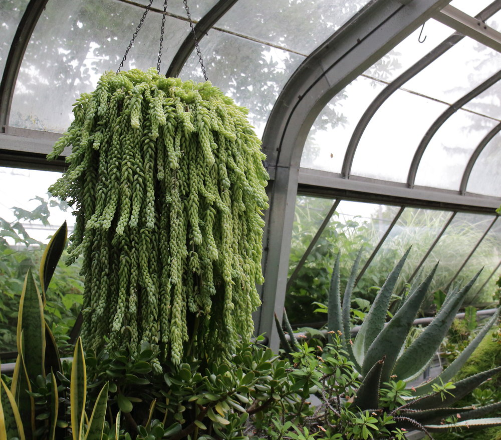 Just a huge basket of Burro's tail