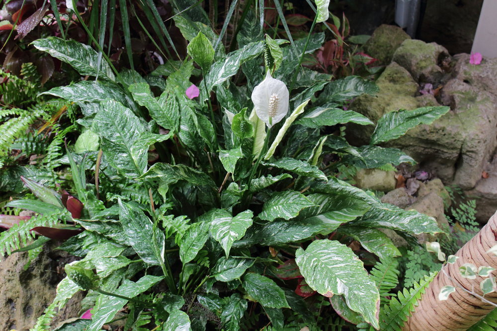 Variegated peace lily - I must find one of these for my personal collection!