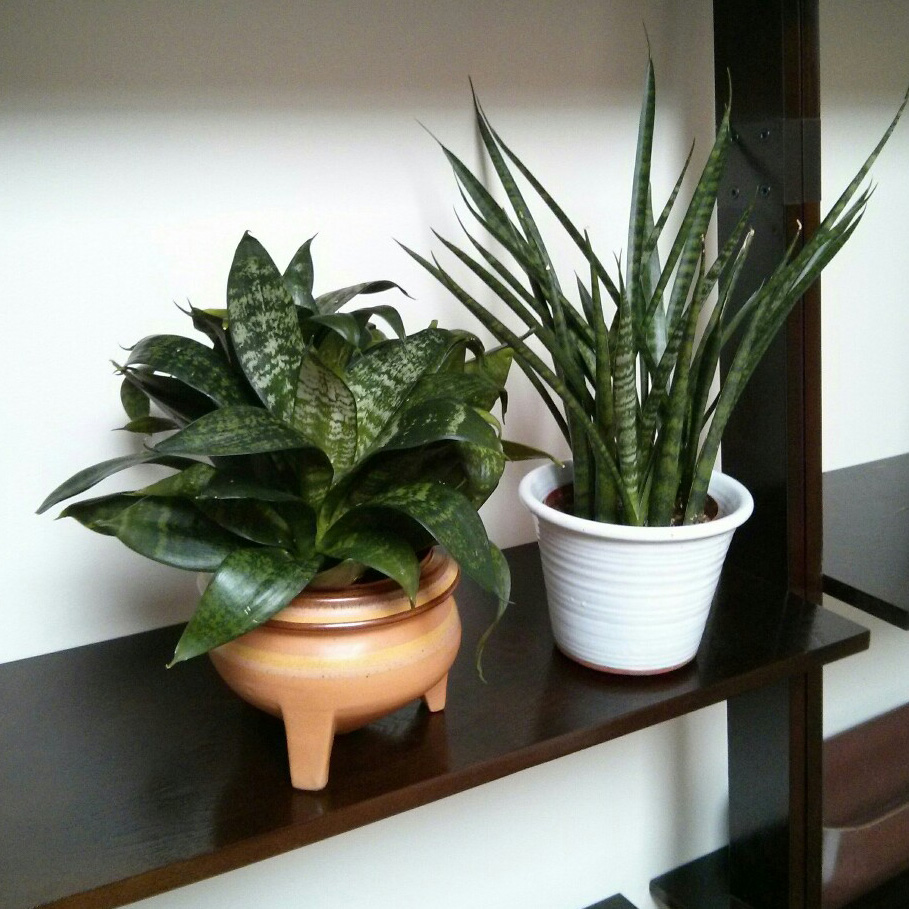 """And here she is, freshly repotted into the 5"""" nursery pot, which fit perfectly into my vintage ceramic pot. To the right, we have the Sansevieria 'japonesa'."""