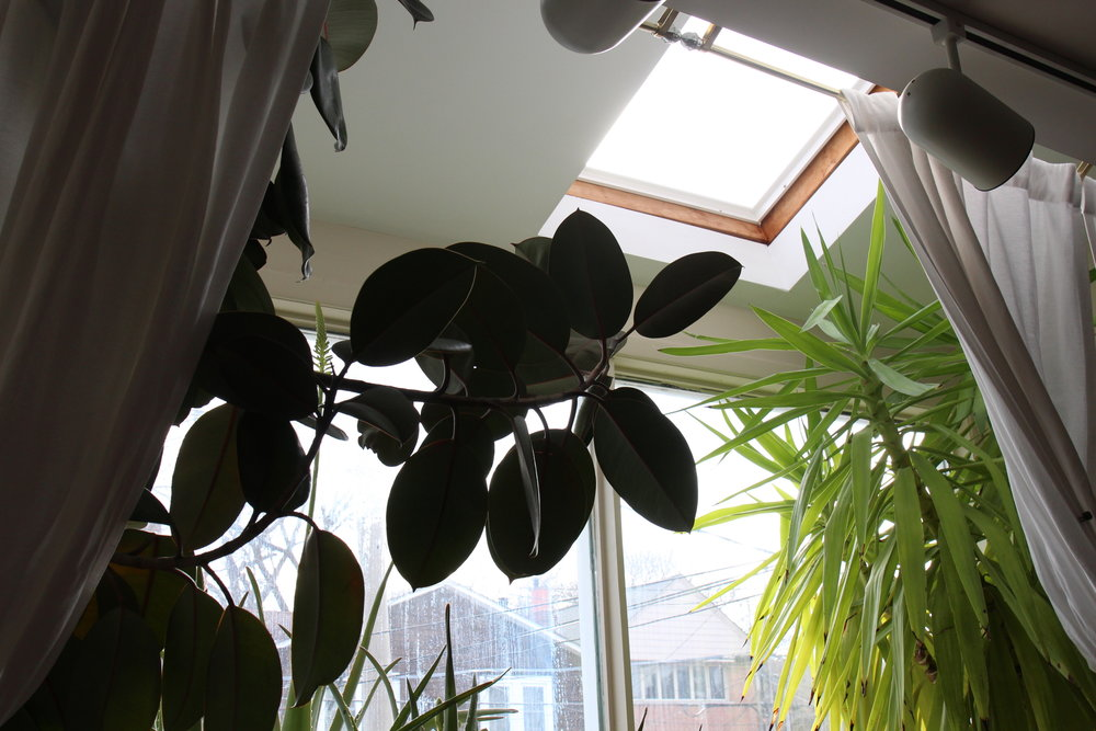 Having floor to ceiling windows that face south in a suburban area means Elspeth's plants get lots of direct sunlight. If that wasn't enough, the bay window has two skylights, which let in the scorching sun during the summer, when it is high in the sky. I took a light measurement while the sun was behind some clouds - I got around 800 foot-candles. At this level (and on a clear day), cacti and succulents would be super happy but tropicals would likely get scorched.