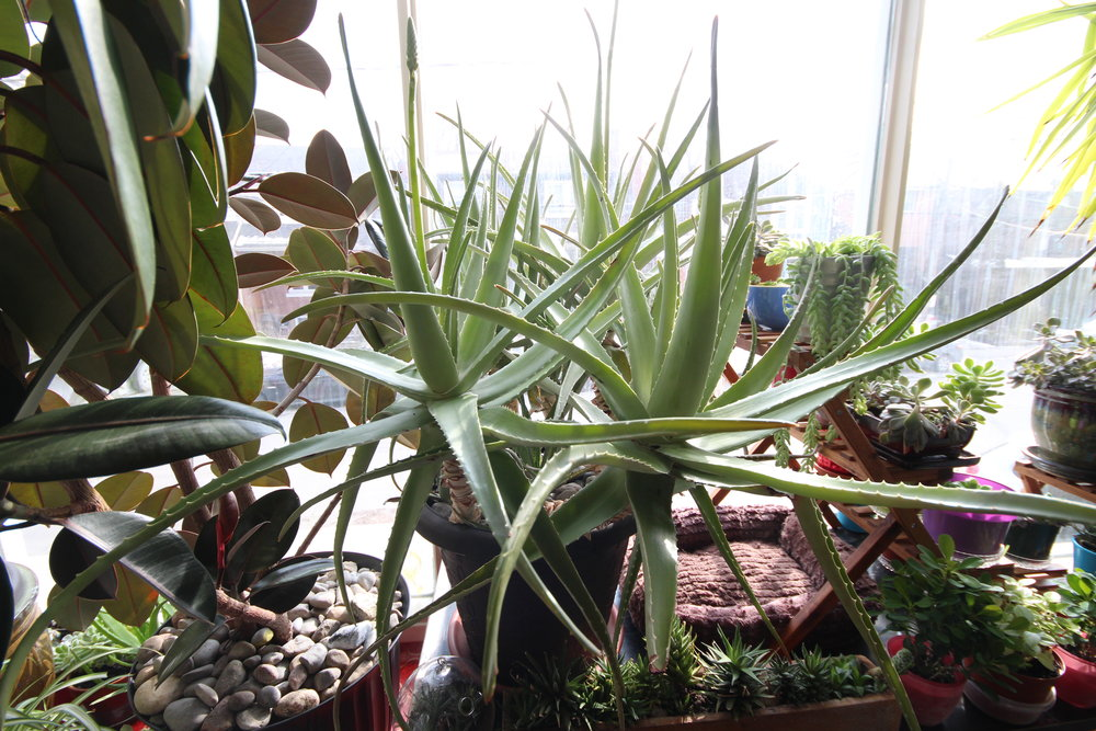 An aloe can only get to this size with maximum sun and corresponding watering (you knew that the amount of water required for a given plant is dependent on light, right?). They all had flower stalks.