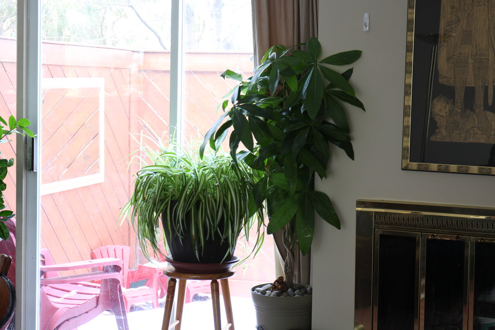 """Let's not forget the north facing window, which provides excellent light for tropical foliage plants like this spider plant and money tree. When these plants are right up against the north facing window, they can """"see"""" a good portion of the sky but not the sun. This is the so-called """"bright indirect light"""" that's great for foliage plants."""