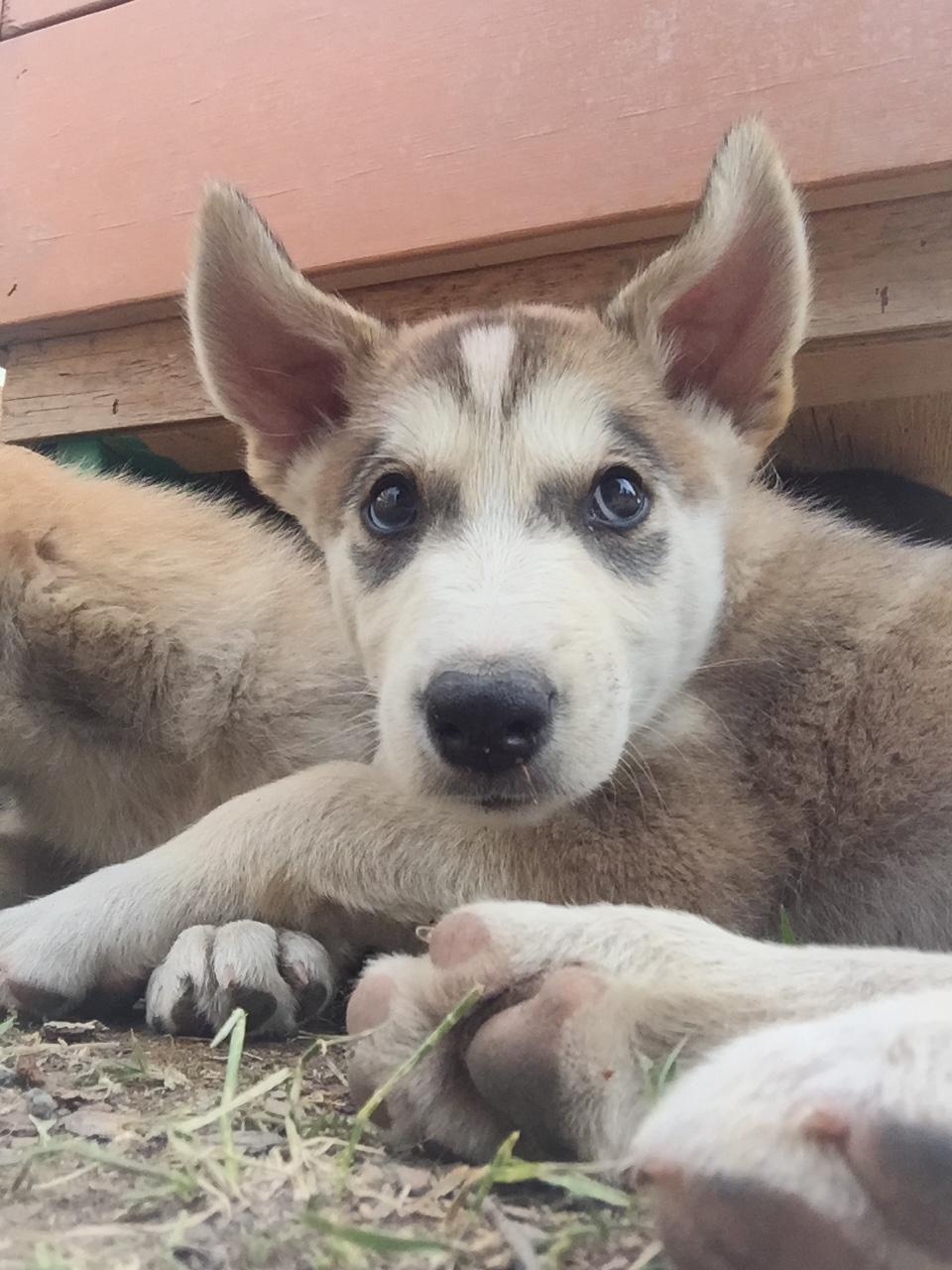 Yukon Dogs.jpg