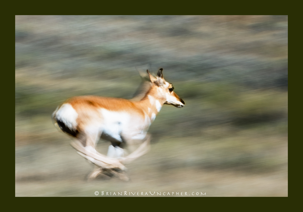 Antelope Pronghorn by Brian Rivera Uncapher