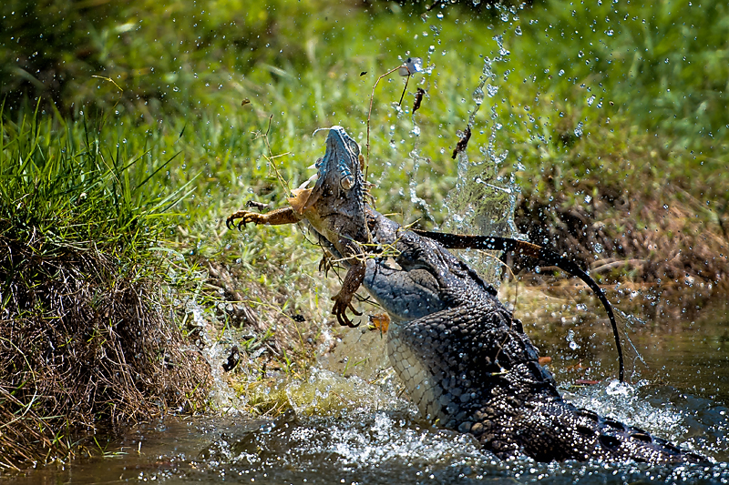 AmericanCrocodile_©BrianRiveraUncapher.jpg