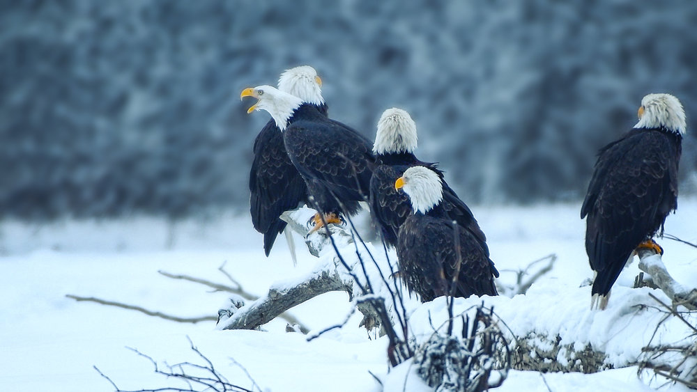 Bald Eagles..