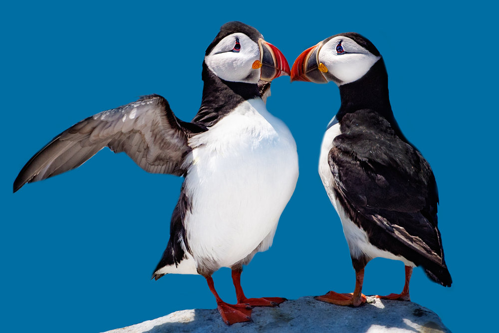 North Atlantic Puffins Kissing_RBR.jpg